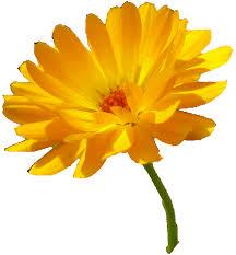 Bildergebnis für ringelblume
