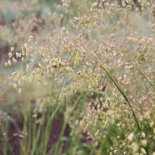 Buy common quaking grass Briza media