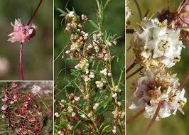 Cuscuta epithymum (L.) L. subsp. epithymum - Portale sulla flora del ...