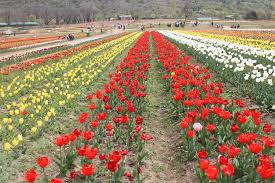 <b>Tulip Festival</b> at the <b>Tulip Garden</b> in Srinagar - All You Must Know ...