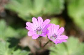 Geraniaceae - Wikipedia