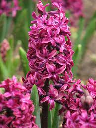 Hyacinthus - Wikipedia