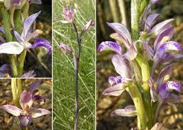 Limodorum abortivum (L.) Sw. - Sistema informativo sulla flora ...