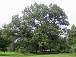 Image result for black oak
