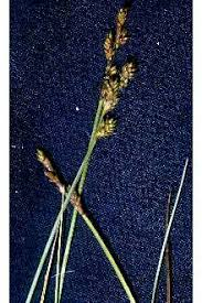Plants Profile for Carex canescens (silvery sedge)
