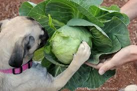 Μπορεί ο σκύλος να καταναλώνει λάχανο;