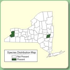 Onobrychis viciifolia - Species Page - NYFA: New York Flora Atlas