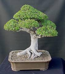 many people have asked me how i get such tight foliage on my chinese elms the trick is there is no trick you simply clip and grow and clip and grow chinese elm bonsai tree