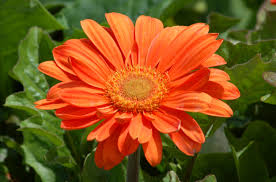 <b>Gerbera Daisy Flowers Plant</b> Profile