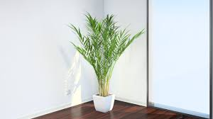 Image result for areca palm