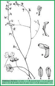 Delphinium in Flora of Pakistan @ efloras.org