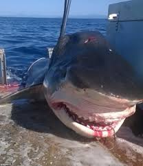 tiger shark measuring foot caught off seven mile beach the massive shark swallowed a six foot hammerhead just before it was pulled aboard the