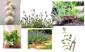 mosquito repellant plants collage best office plants no sunlight