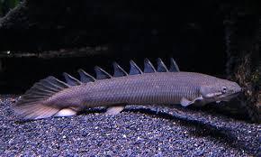 Budidaya Ikan Naga Ikan Palmas