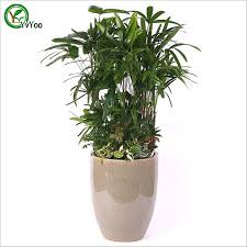 office desks plant palm bamboo seeds bonsai tree 100 true seed in kind shooting beautifying office bonsai grass pots planters mini