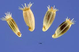 Plants Profile for Centaurea stoebe micranthos (spotted knapweed)