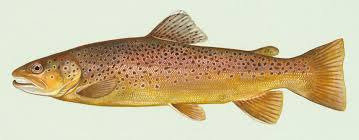 <b>trout</b> - Wiktionary