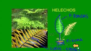 Resultado de imagen de ESQUEMA PLANTAS CON FLORES Y PLANTAS SIN FLORES