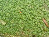 Lemna gibba (Fat Duckweed)