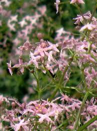 Galium corsicum