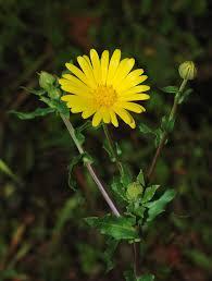 Calendula arvensis - Wikipedia