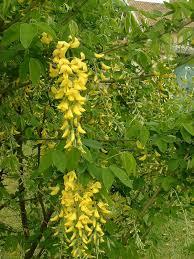 Laburnum anagyroides - Wikipedia