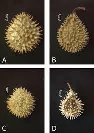 'cynoglossum montanum group' (boraginaceae)
