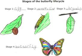 life cycle of a butterfly coloring page com essay about life cycle of butterfly