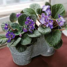 African Violets for the More <b>Modern</b>-Minded | Houseplants ...