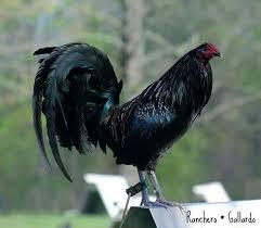 Resultado de imagen para gallos