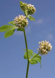 Dorycnium rectum (L.) Ser. | Flora of Israel Online