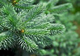 Image result for spruce needles