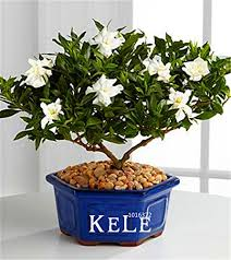<b>Big Promotion</b>!<b>100 Pcs</b>/Lot Gardenia Seeds (Cape Jasmine)* Home ...