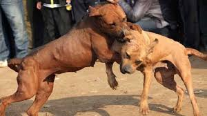 dog fights image   dog show pictures    dog fighting the sick sport underground dog fights documentary with dog fights image