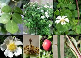Rosa arvensis Huds. - Sistema informativo sulla flora vascolare dei ...