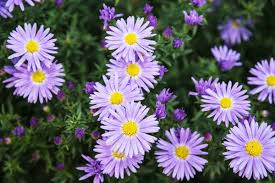Aster amellus (Italian Asters)