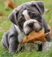 perro ingles bulldog bilaketarekin bat datozen irudiak