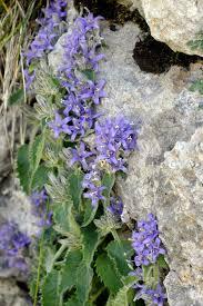 Campanula elatinoides