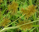 Cyperus strigosus (Straw-colored Flatsedge): Minnesota Wildflowers
