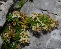 Galium baldense