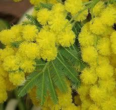 Risultati immagini per foglie mimosa