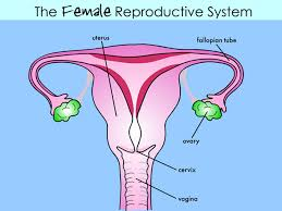 female reproductive systemkh slideshow thumbnail       the female reproductive system