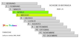 Lathyrus venetus [Cicerchia veneta] - Flora Italiana