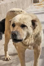 Иранские волкодавы  Images?q=tbn:ANd9GcSQf5zprt0X5xrcaNgOOqHL489cMAQ5GINdIMpGm2n3qJTe8d_Q