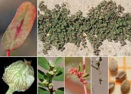 Euphorbia maculata L. - Sistema informativo sulla flora del parco di ...