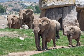 <b>Elephant</b> Cam | San Diego Zoo Safari Park Official Site | We Are Open!