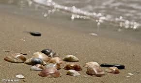 תוצאת תמונה עבור צדפים על חוף