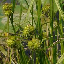 Carex flava (yellow-green sedge): Go Botany