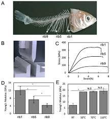 Micro-Architectural Investigation of Teleost <b>Fish Rib</b> Inducing Pliant ...