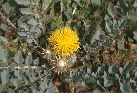 Centaurea acaulis L. - Fiordaliso acaule - Forum Acta Plantarum